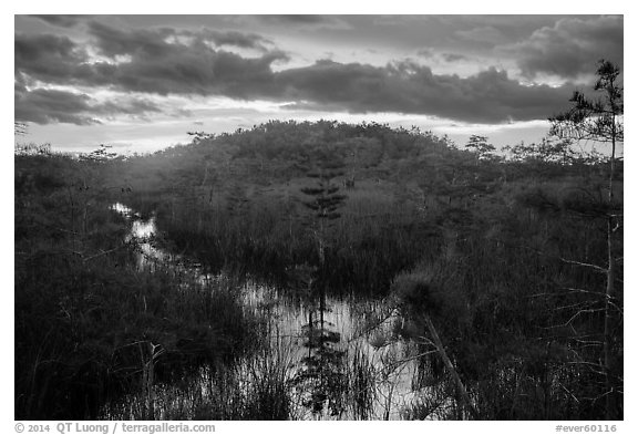 Cypress dome, summer sunset. Everglades National Park (black and white)