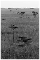 Cypress and freshwater prairie at sunrise. Everglades National Park ( black and white)