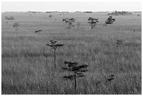Freshwater prairie punctuated by cypress at sunrise. Everglades National Park ( black and white)