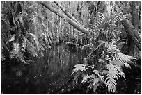 Ferns in cypress dome. Everglades National Park ( black and white)