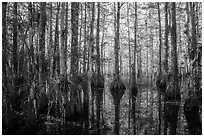 Cypress dome in late afternoon. Everglades National Park ( black and white)