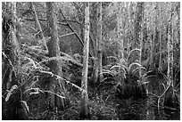 Cypress dome and ferns. Everglades National Park ( black and white)