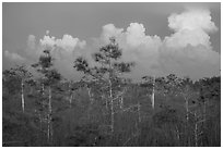 Cypress and clouds at sunset. Everglades National Park ( black and white)