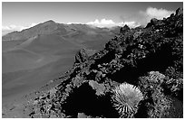 Silversword in Haleakala crater, Sliding sands trail. Haleakala National Park, Hawaii, USA. (black and white)