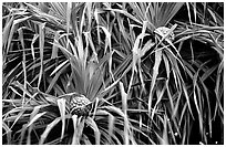 Pineapple-like flowers of Pandanus trees. Haleakala National Park ( black and white)