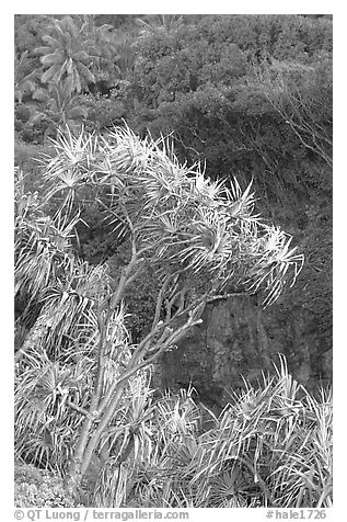 Pandanus trees  (Hawaiian Hala). Haleakala National Park (black and white)