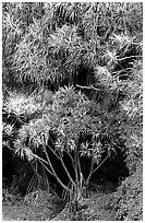 Pandanus trees. Haleakala National Park ( black and white)