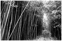 Bamboo forest along Pipiwai trail. Haleakala National Park, Hawaii, USA. (black and white)