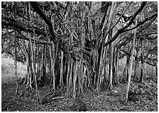Banyan tree. Haleakala National Park, Hawaii, USA. (black and white)