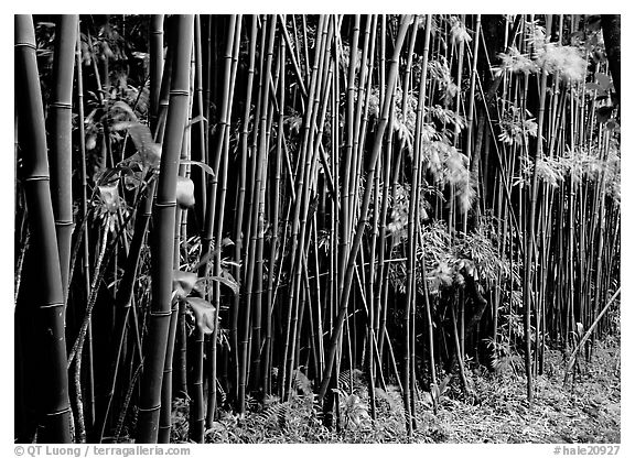 Bamboo forest along Pipiwai trail. Haleakala National Park (black and white)