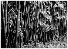 Bamboo forest along Pipiwai trail. Haleakala National Park ( black and white)
