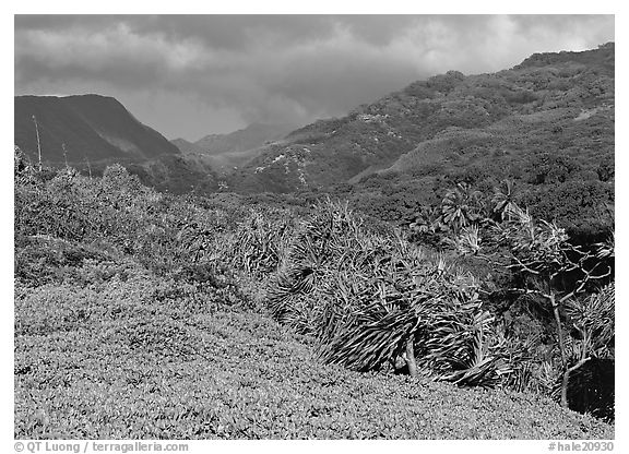 Pandemus trees and Kipahulu mountains. Haleakala National Park (black and white)