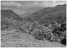 Pandemus trees and Kipahulu mountains. Haleakala National Park, Hawaii, USA. (black and white)