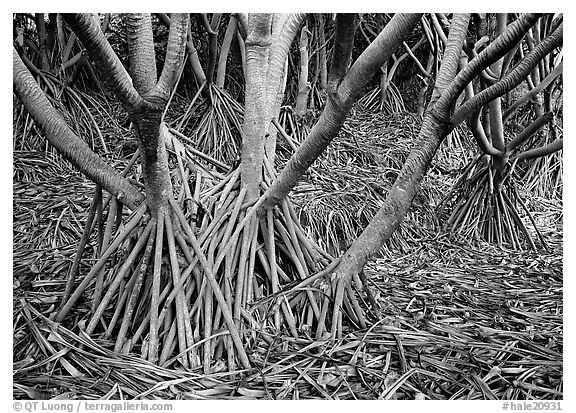 Trunks of Pandanus trees. Haleakala National Park (black and white)