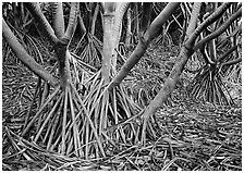 Trunks of Pandanus trees. Haleakala National Park ( black and white)