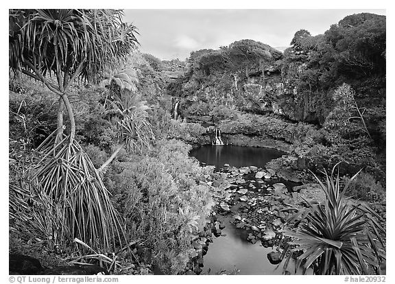 Pandemus trees and some of the seven sacred pools. Haleakala National Park (black and white)