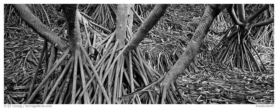 Roots, trunks and fallen leaves of Pandemus trees. Haleakala National Park (black and white)
