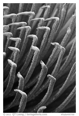 Tip of Haleakala Silversword leaves, covered with silver hairs. Haleakala National Park (black and white)