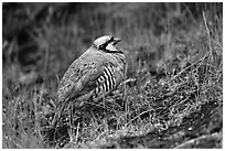Chukar. Haleakala National Park ( black and white)