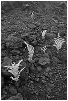 Braken ferns (Pteridium decompositum). Haleakala National Park, Hawaii, USA. (black and white)