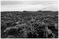 Ohelo berry plants and sea of clouds. Haleakala National Park, Hawaii, USA. (black and white)