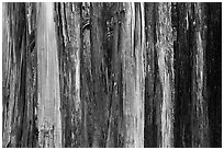 Multicolored Eucalyptus trees, Hosmer Grove. Haleakala National Park ( black and white)