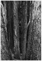 Eucalyptus tree trunks, Hosmer Grove. Haleakala National Park, Hawaii, USA. (black and white)