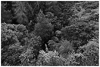 Trees and shrubs from Hosmer Grove overlook. Haleakala National Park, Hawaii, USA. (black and white)
