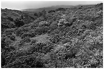 Forested hillside below Haleakala. Haleakala National Park ( black and white)