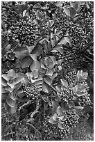 Sandalwood berries. Haleakala National Park, Hawaii, USA. (black and white)
