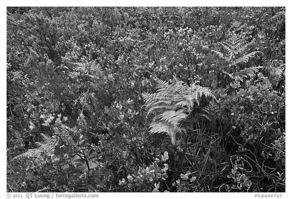 Native ferns and shrubs. Haleakala National Park (black and white)