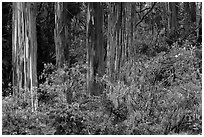 Blue Gum Eucalyptus (Eucalyptus globulus). Haleakala National Park ( black and white)