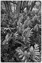 Maile-Scented native hawaiian ferns (Lauaa). Haleakala National Park, Hawaii, USA. (black and white)