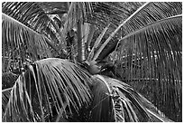 Coconot tree and fruits. Haleakala National Park, Hawaii, USA. (black and white)