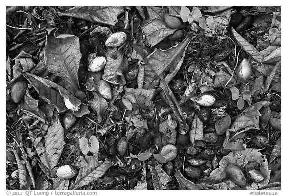 Fallen tropical almond (Kamani). Haleakala National Park (black and white)