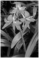 Wild lily. Haleakala National Park ( black and white)