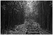 Trail through bamboo forest. Haleakala National Park ( black and white)