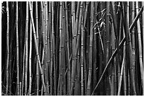 Bamboo stems. Haleakala National Park, Hawaii, USA. (black and white)