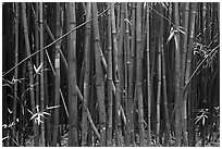 Dense Bamboo forest. Haleakala National Park, Hawaii, USA. (black and white)