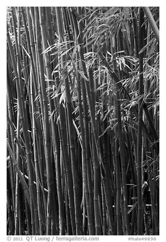Bamboo stems and leaves. Haleakala National Park (black and white)
