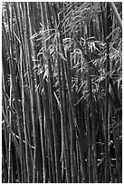 Bamboo stems and leaves. Haleakala National Park ( black and white)