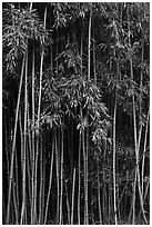 Thick Bamboo forest. Haleakala National Park, Hawaii, USA. (black and white)