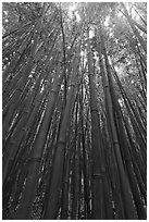 Looking up dense bamboo grove. Haleakala National Park ( black and white)