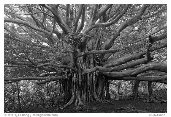 Web of wood, Banyan tree. Haleakala National Park (black and white)