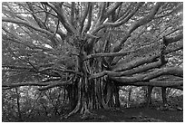 Web of wood, Banyan tree. Haleakala National Park, Hawaii, USA. (black and white)