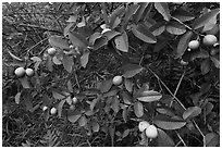 Guava fruit on tree. Haleakala National Park, Hawaii, USA. (black and white)
