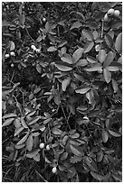 Guava tree with fruits. Haleakala National Park ( black and white)