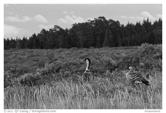 Hawaiian Geese in shrubland. Haleakala National Park (black and white)