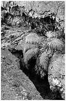 Ferns and lava crust on Mauna Ulu crater. Hawaii Volcanoes National Park, Hawaii, USA. (black and white)