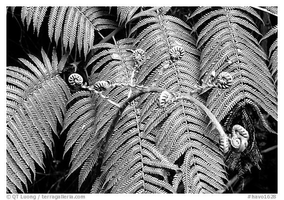 Hawaian ferns. Hawaii Volcanoes National Park (black and white)